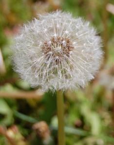 Elderly Dandelion