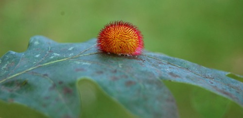 White oak gall (hedgehog gall)