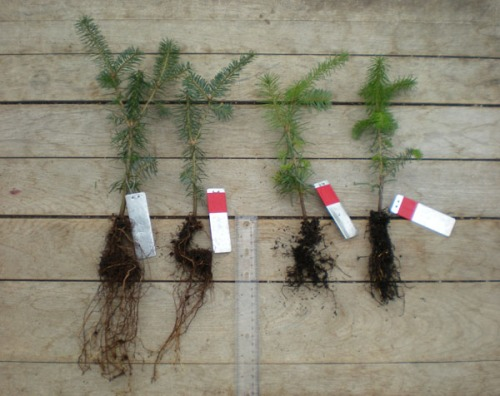 Canaan firs (left to right): Control, 24 hr/week flood, P. cactorum + 24 hr/week flood, and P. drechsleri + 24 hr/week flood.
