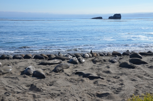 Elephant seals on the beach.