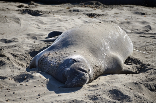 A very relaxed elephant seal.