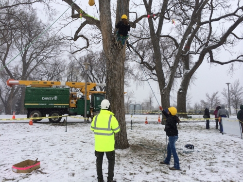Arboriculture techniques above the snow.