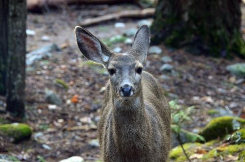 A mule deer doe glances at us.